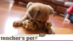 Teach a Puppy to Sit | Teacher's Pet With Victoria Stilwell - http://www.thehowto.info/teach-a-puppy-to-sit-teachers-pet-with-victoria-stilwell/