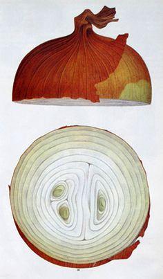 onion, food illustrations, cross