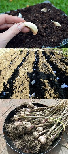How to grow garlic - plant in modules or direct into soil