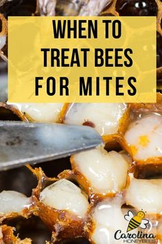 Do you need to treat your bees for mites? A bee colony can deal with a low number of mites but if the mite levels rise too high - the beehive can die. Know what to look for and make a good decision for your bees. Bee Mites, Bee Facts, Bee Hive Plans, Beekeeping For Beginners, Raising Bees, Backyard Beekeeping, Save The Bees, Busy Bee, Bees Knees