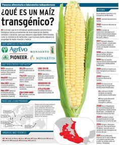 Qué es el maíz transgénico. Invasión de maíz transgénico en México.