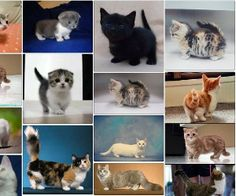 Gatos enanos Corgi, Kawaii, Cats, Animals, Midget Cat, Female Dwarf, Funny, Kittens, Balcony