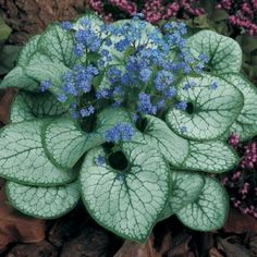 "Brunnera 'Jack Frost.' Deciduous, but what a show! Silvery foliage and blue ""Forget-me-not"" flowers in May."