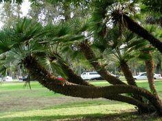 European Fan Chamaerops Humilis - Cold Hardy Palm