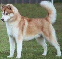 """brown siberian husky - I THINK THIS IS CONSIDERED """"RED"""" RATHER THAN BROWN ~"""