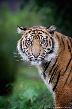 Wild Tiger, Quokka, Cat Face, Beautiful Pictures, Cats, Animals, Amazing, Gatos, Animales