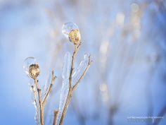 Ice Storm Albion Falls, Ice Storm, Frost, Landscape Photography, Dandelion, Winter, Winter Time, Dandelions, Landscape Photos