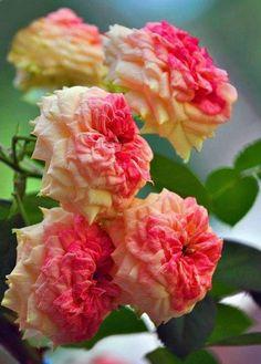 Good Morning Beautiful Flowers, Beautiful Flowers Photos, Morning Flowers, All Flowers, Flower Photos, Beautiful Roses, Pretty Flowers, Yellow Roses, Pink Roses