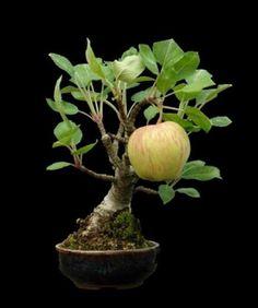 """Empire's """" Big apple on a tiny bonsai tree"""