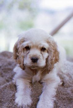 This cocker spaniel who likes to dig in the sand is the best cuddle buddy for your tiny house