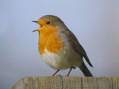 Het roodborstje, wintervogeltje Het roodborstje is het symbool voor de hoop, zoals de duif dat is voor de vrede. Roodborstjes zijn nieuwsgierige en mooie tuinvogeltjes. De roodborst is een eenling …