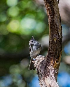 Black Crested Titmouse