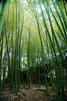 Bamboo Forest | Philip Norris ♥
