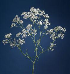 Gypsophila Flower, She Likes, Dandelion, Floral Design, Glass, Flowers, Inspiration, Painting, Tattoo