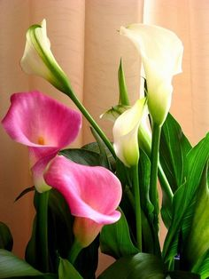 Few fresh cut flowers offer the elegance and versatility of the calla lily. If you are designing your own wedding bouquet, centerpieces or arrangements, the calla lily will provide all of the style… Calla Lillies, Calla Lily, Growing Tomatoes In Containers, Grow Tomatoes, Baby Tomatoes, Dried Tomatoes, Growing Vegetables, Lilly Plants, Lily Care