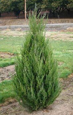 Juniperus c. 'Spartan'