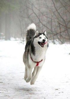 This siberian husky is really enjoying the snow