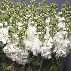 Stocks fantasy white 55cm, also known as Matthiola, is a beautiful perfumed White cut flower - wholesaled in Batches of 10 stems.