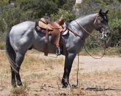 Dry Doc's Blue Cowboy - Blue roan stallion all saddled up.•.♡.•