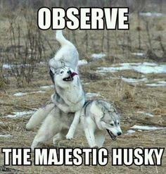 These Husky Memes Are Just What You Need This Sunday - Funny Dog Quotes - These Husky Memes Are Just What You Need This Sunday The post These Husky Memes Are Just What You Need This Sunday appeared first on Gag Dad. Funny Animal Jokes, Dog Quotes Funny, Cute Funny Animals, Cute Baby Animals, Funny Dogs, Hilarious Memes, Funny Husky Meme, Funny Puppies, Funny Videos