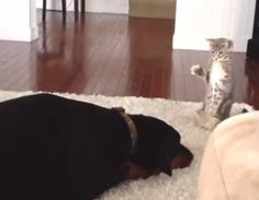 Doberman Getting Owned By Kitten. Sure, at first glance, it would appear that the dog has a cool temperament and is simply exercising restraint with his new tiny housemate. It's also possible the kitten has gotten inside the larger animals's head, leaving him paralyzed with fear. Most likely, the dog has fallen into a funk over the fact that this little monster is now part of his life, and is busy trying to calculate how much trouble he'll be in if he swallows it.