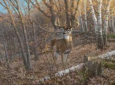 prints of deer images | Many whitetail bucks are eight pointers when they are young. A few ...