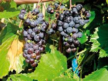Vitis 'Hazaine Sladkii', vinranka. Rätt härdig (-33 grader C). Odlas i växthus.
