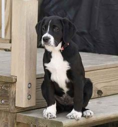 History/Evolution: The Borador's combination of Border Collie and Labrador Retriever seems to make sense. The two breeds excel at agility a...