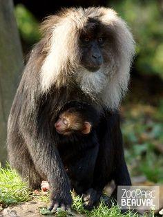 Mère macaque #Ouandérou et son petit, né en octobre 2013 au ZooParc de Beauval