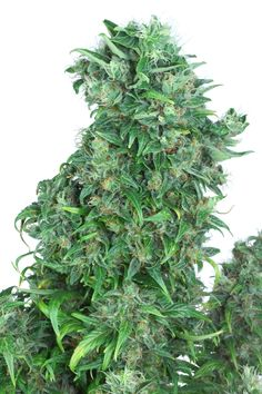 #freeweed Think Different - Dutch Passion | Get the best #marijuana seeds at http://comparetheseedbank.com #cannabis #420 #dank #weed #ganja