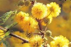 Guía de flora autóctona de Argentina - Página 3 - Foro de InfoJardín