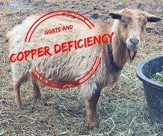 Knowledge of goat nutrition has come a long way. Today, we know that copper deficiency can cause a long list of symptoms, from cosmetic to life threatening. Keeping Goats, Raising Goats, Cabras Boer, Goat Feeder, Goat Playground, Miniature Goats, Goat Shed, Fainting Goat, Goat Shelter
