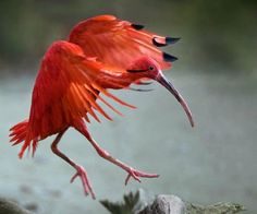 Beautiful Scarlet Ibis