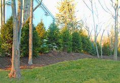 Landscaping for Privacy / These Norway Spruce were planted up on a berm to add additional height while they are starting out. The berm also adds interest to flat properties, although you have to be careful of drainage. --Note that the berm and spruce were Acreage Landscaping, Privacy Landscaping, Front Yard Landscaping, Landscaping Ideas, Inexpensive Landscaping, Landscaping Contractors, Landscaping Company, Privacy Trees, Privacy Plants
