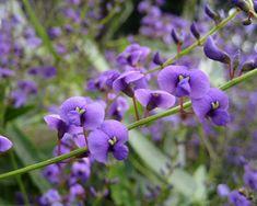 GardensOnline: Hardenbergia violacea Happy Wanderer