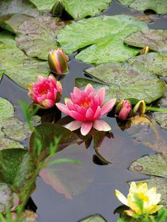 #LivingLifeInFullBloom #Monet'sPassion #ElizabethMurray Water-Lily-Giverny