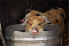 Pigs are considered the fifth most intelligent animal in the world!