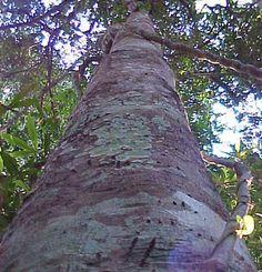 Agarwood (Oud) perfume ingredient, Agarwood (Oud) fragrance and essential oils Aquilaria agallocha i A. malaccensis (Thymelaeaceae)
