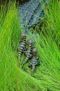 young Alligators