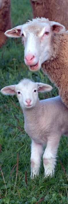 Easter Lamb Mother and Baby Sheep