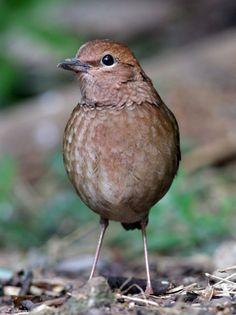 Rusty-naped Pitta (Pitta oatesi) Cardinal Birds, Birds 2, Pet Birds, Colourful Birds, Kinds Of Birds, Pitta, Cat Eyes, Hummingbirds, Natural World