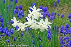 Muscari with Narcissus 'Thalia'; Janet Davis at The Paintbox Garden
