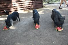 Walk among our majestic flamingos, hold and alligator, pet a skunk or wander our jungle trails! Sarasota Jungle Gardens, Petting Zoo, Sarasota Florida, Zoo Animals, Pets, Animals And Pets
