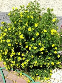 Potentilla/ very nice long lasting bloom. easy to trim if needed. no care shrub.