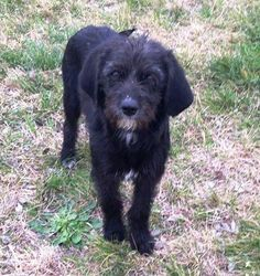 05/16/15-Meet Lily, a Petfinder adoptable Poodle Dog   Hutto, TX   Please give a big welcome to Lily! Lily along with her two sisters and brother were found...