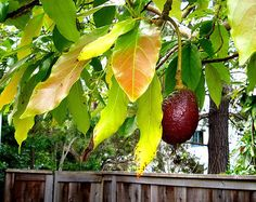 How to grow avocado trees that will actually produce fruit.