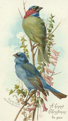 Bogotar finch and American blue bird