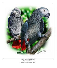 african-grey-parrots-owen-bell.jpg (749×900)
