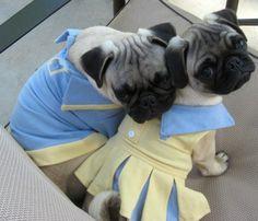 Preppy pugs  UNC! Carolina Blue