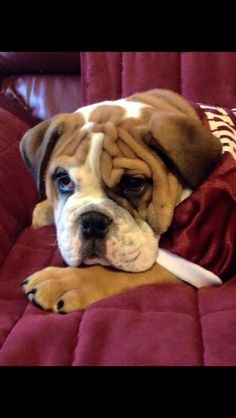 I would like to introduce Bully XX's pup! Cristil's Golden Prince, aka Jak!! ~ Check this out too ~ RollTideWarEagle.com for great sports stories that inform and entertain. #HailState #MSU